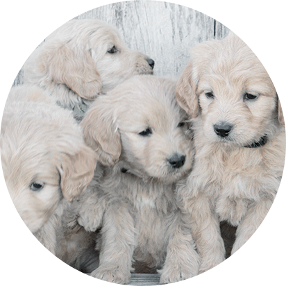 English goldendoodle puppies for sale