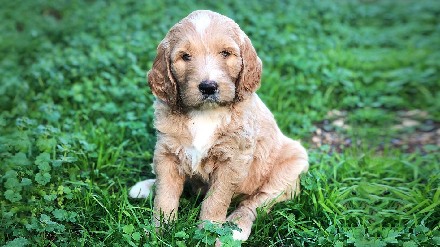F1 English Teddy Bear Goldendoodle Puppies For Sale Austin Texas